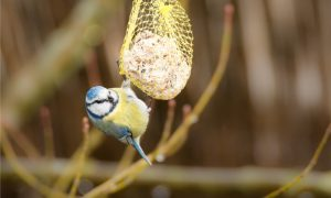 Small Blue Tit bird hanging at a fat ball